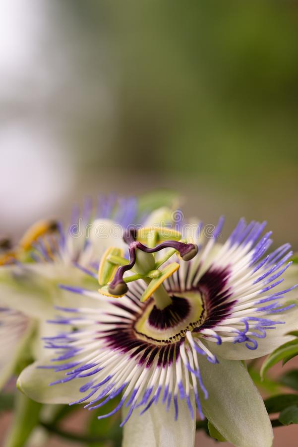 Close-up of the flower of Passiflora edulis or Passion Flower. On a natural background stock photo