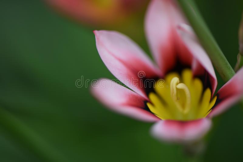 Close up flower photography image of a pink and yellow flower with macro pollen detail and dark green background with copy space stock photography