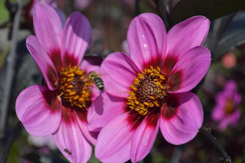 Close up flower pink magenta purple with bees stock photo