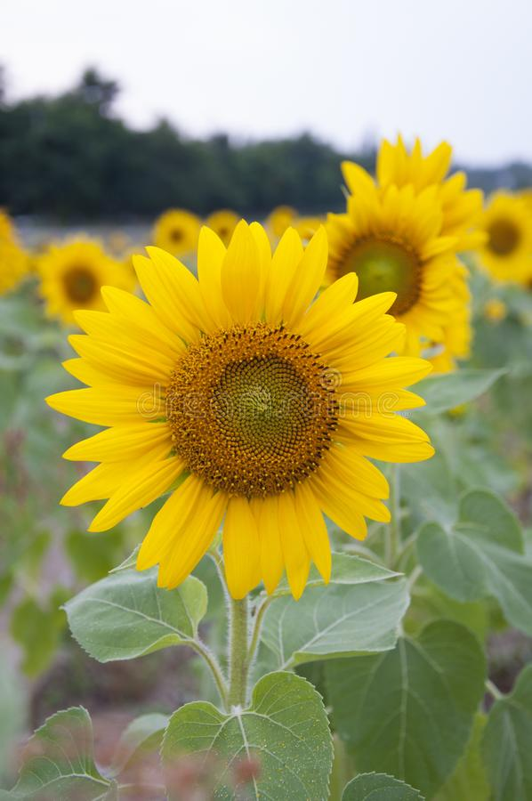 A flower of a sunflower stock images