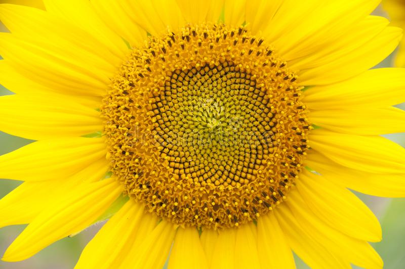 A flower of a sunflower stock image