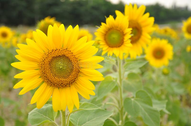 A flower of a sunflower royalty free stock photography