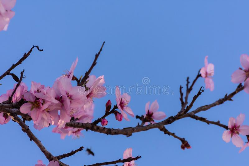 Close up of flowering almond trees. Beautiful almond blossom on the branches over blue sky, at springtime background in Valencia, royalty free stock photography