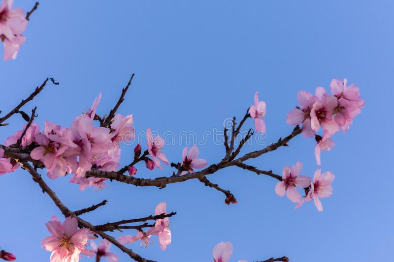 Close up of flowering almond trees. Beautiful almond blossom on the branches over blue sky, at springtime background in Valencia, stock photo
