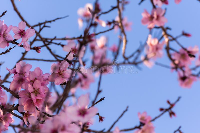 Close up of flowering almond trees. Beautiful almond blossom on the branches, at springtime background in Valencia, Spain. royalty free stock photos