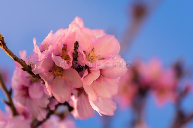 Close up of flowering almond trees. Beautiful almond blossom, at springtime background in Valencia, Spain. Colorful and natural stock photo