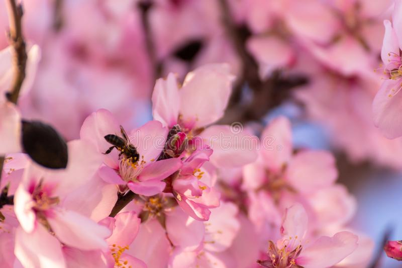 Close up of flowering almond trees. Beautiful almond blossom, at springtime background in Valencia, Spain, Europe. Colorful and stock images