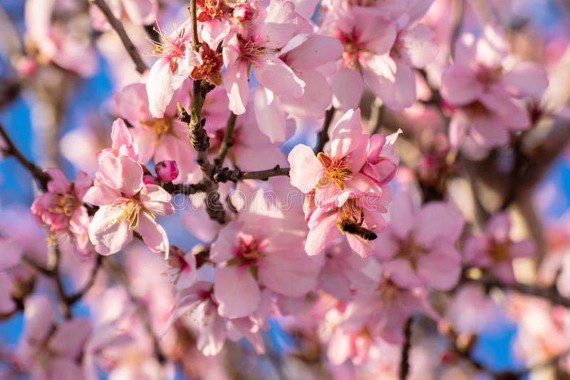 Close up of flowering almond trees. Beautiful almond blossom on the branches. Spring almond tree pink flowers with branch and blue royalty free stock images
