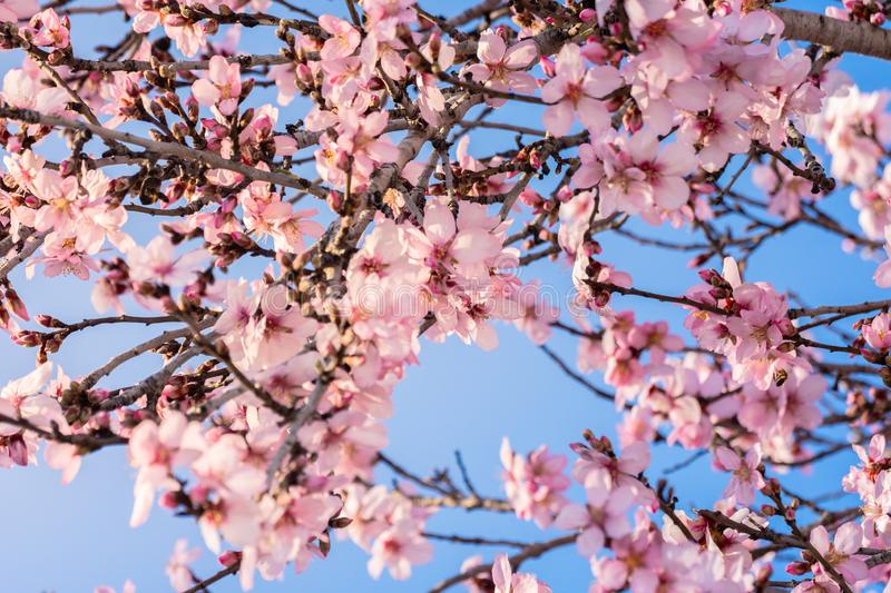 Close up of flowering almond trees. Beautiful almond blossom on the branches. Spring almond tree pink flowers with branch and blue stock photography