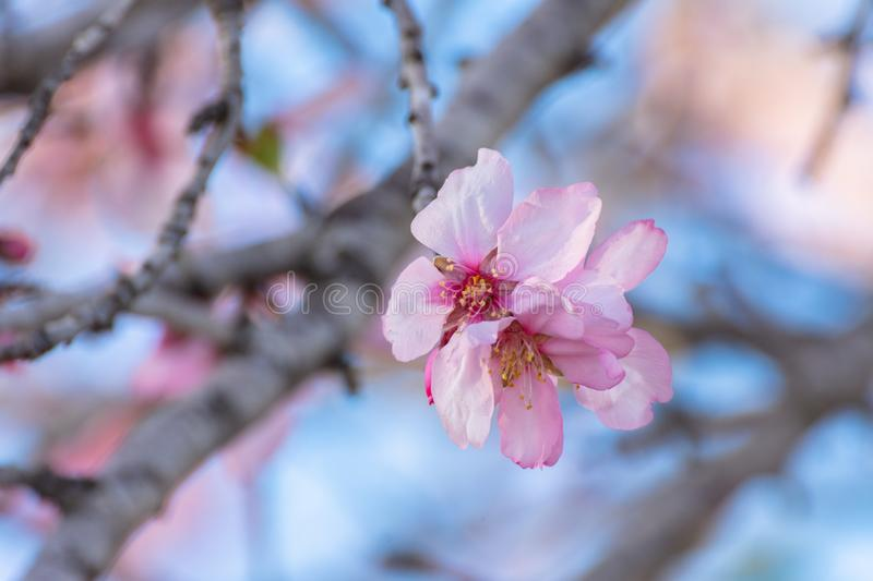 Close up of flowering almond trees. Beautiful almond blossom on the branches. Spring almond tree pink flowers with branch and blue stock photos