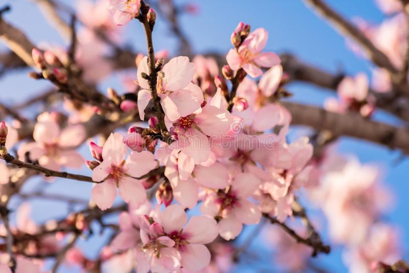 Close up of flowering almond trees. Beautiful almond blossom on the branches. Spring almond tree pink flowers with branch and blue royalty free stock image