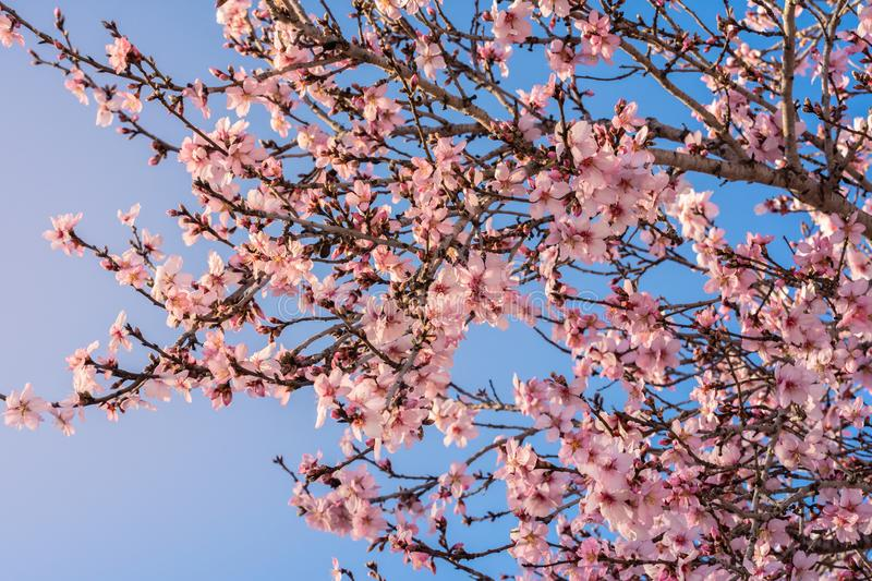 Close up of flowering almond trees. Beautiful almond blossom on the branches. Spring almond tree pink flowers with branch and blue stock photo