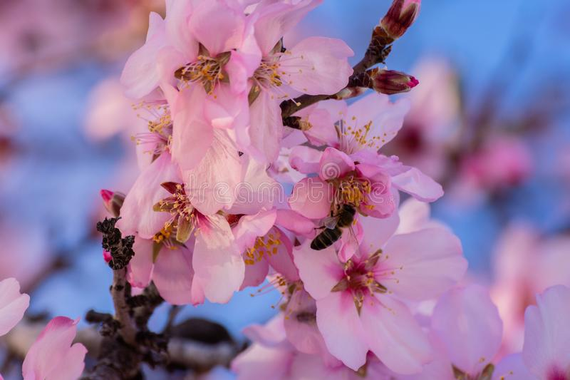 Close up of flowering almond trees. Beautiful almond blossom on the branches. Spring almond tree and pink flowers with branch and stock image