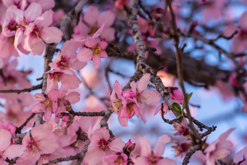 Close up of flowering almond trees. Beautiful almond blossom on the branches, at springtime background. Colorful and natural royalty free stock image