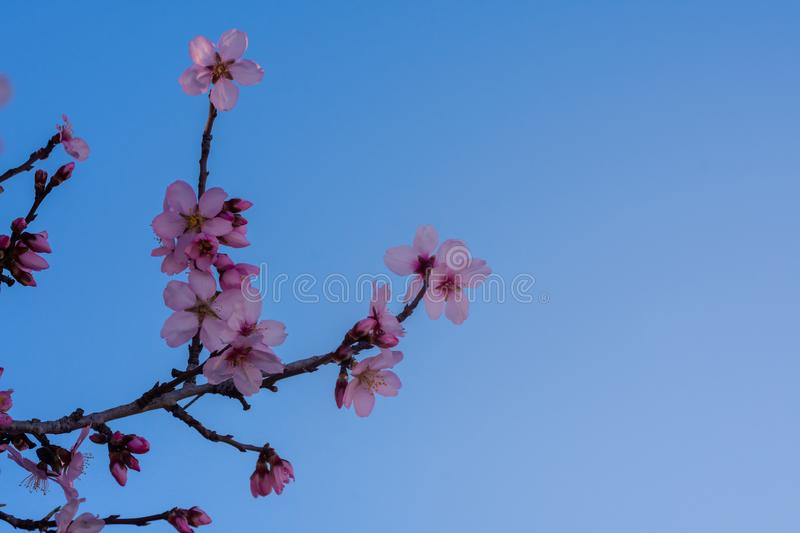 Close up of flowering almond trees. Beautiful almond blossom on the branches, at springtime background. natural background. Spring stock image