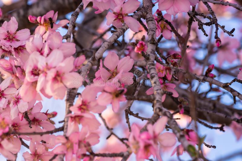 Close up of flowering almond trees. Beautiful almond blossom on the branches, at springtime background in Valencia. Colorful and royalty free stock photography