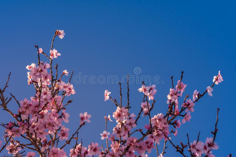 Close up of flowering almond trees. Beautiful almond blossom on the branches, at springtime background in Valencia, Spain. stock images