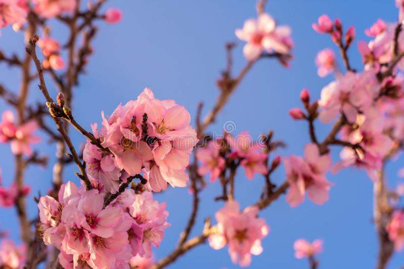 Close up of flowering almond trees. Beautiful almond blossom on the branches, at springtime background in Valencia, Spain, Europe stock photography