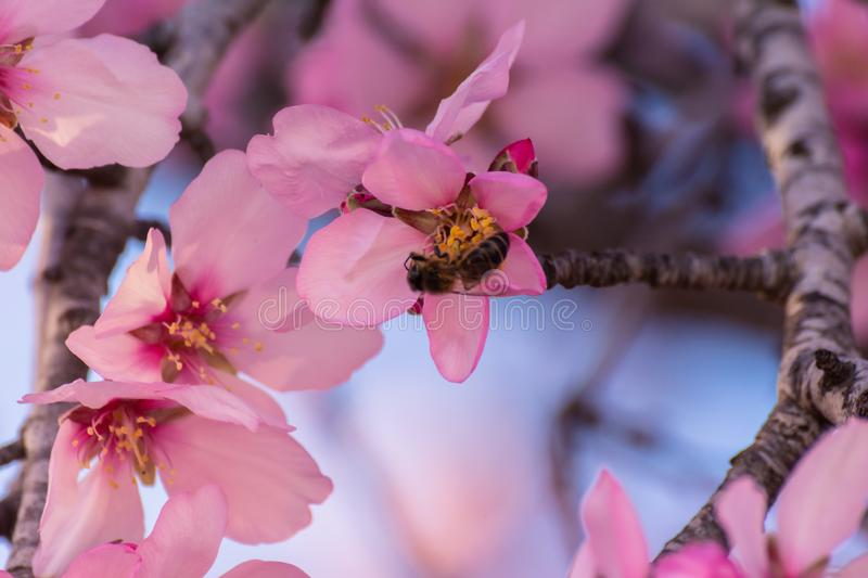 Close up of flowering almond trees. Beautiful almond blossom on the branches, at springtime background in Valencia, Spain, Europe stock image