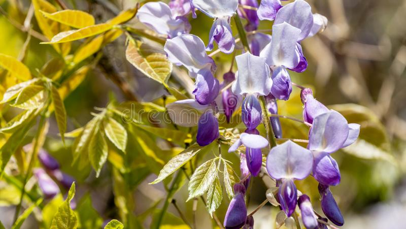Close-up of flowering branch Chinese and Japanese Wisteria. Elegant nature concept. For design stock photos