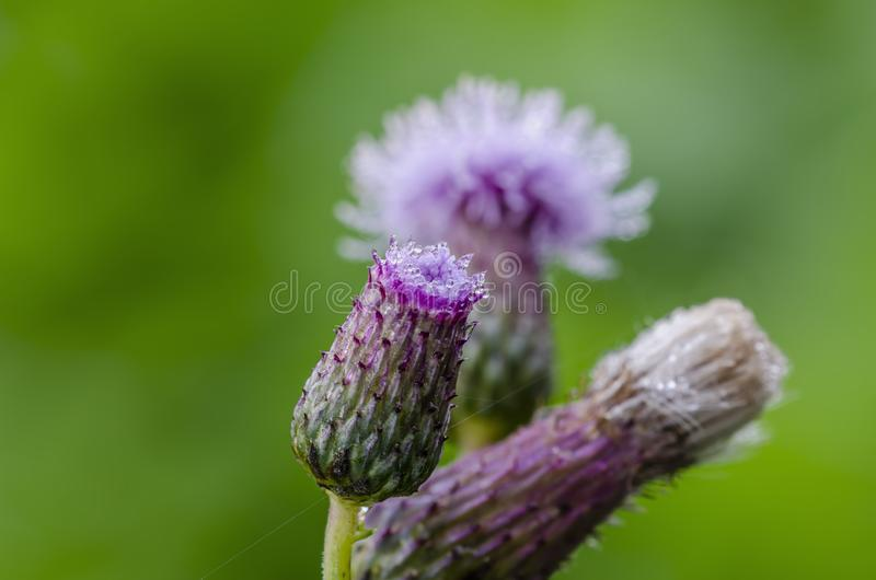 Close up of flowering creeping thistle stock photo