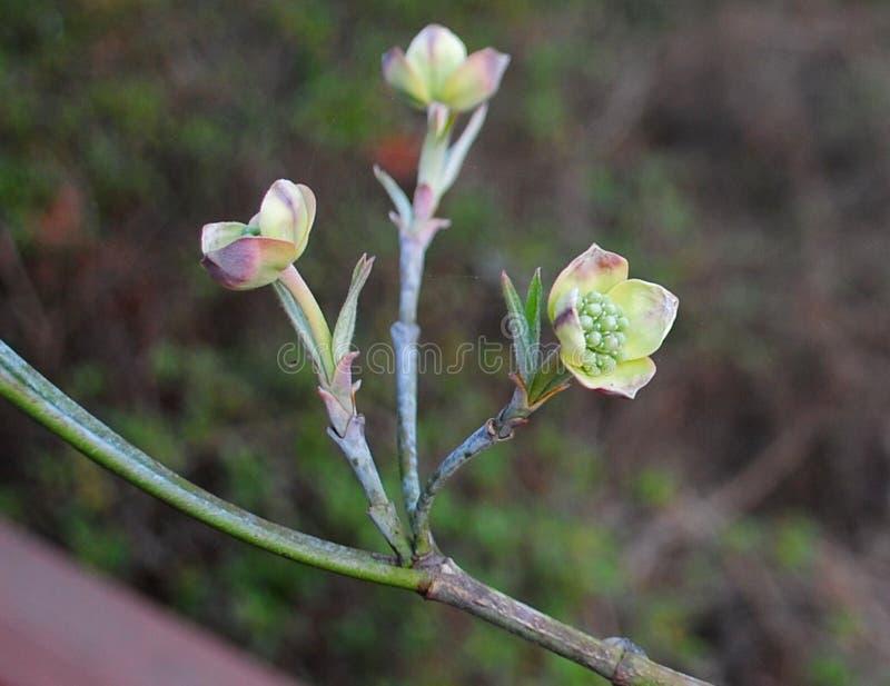 Flowering Dogwood Buds in Springtime stock photos