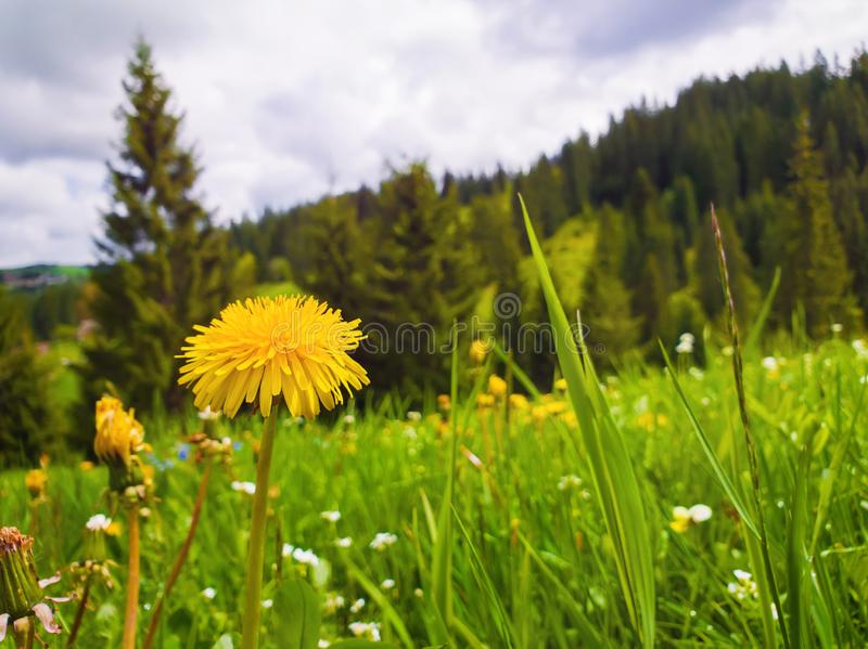 Close up flowering fluffy yellow dandelion on the field. Wonderful spring scene background, blooming meadows and green grass near royalty free stock image