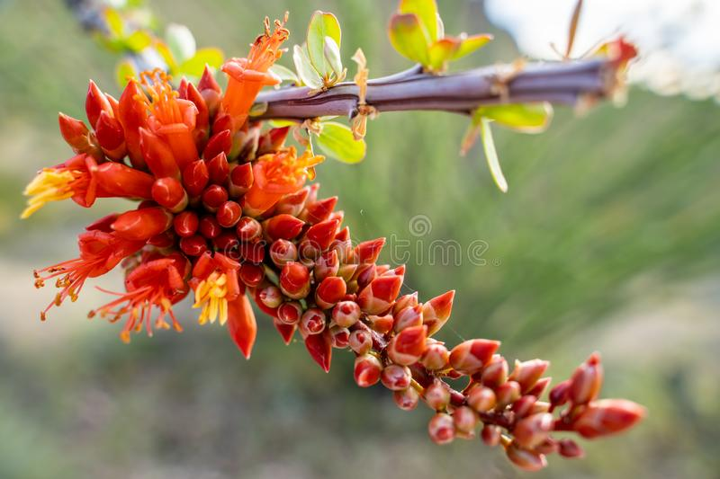 Close up of flowering Ocotillo cactus plant in the Arizona Sonoran desert during spring.  royalty free stock images