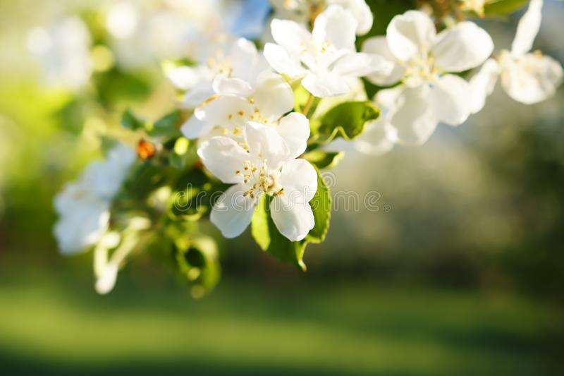 Close-up of flowers on apple branch in apple garden in spring. Flowering of apples in green garden. Flowering of apple trees. stock images