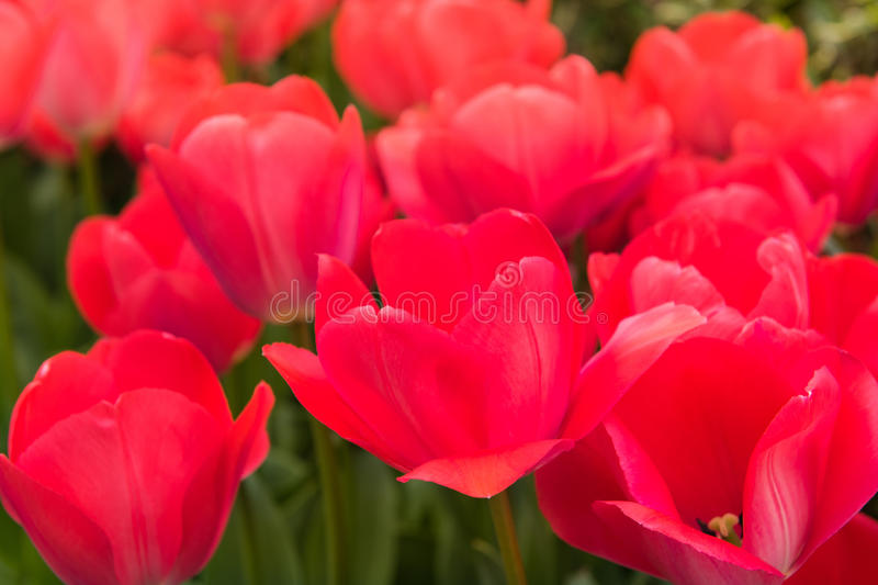 Close up flowers background. Beautiful red tulib in the garden royalty free stock image