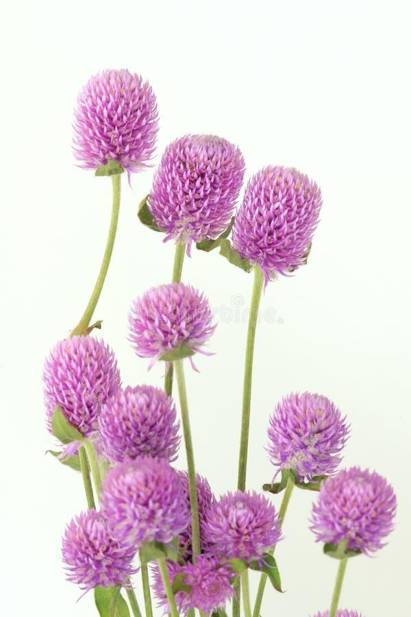 Globe amaranth stock photos