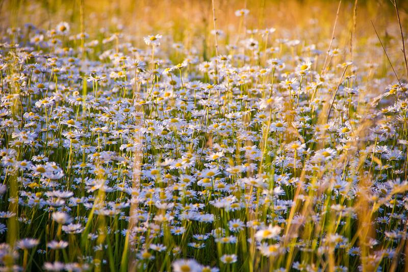 Close-up of Flowers Growing in Field stock photo