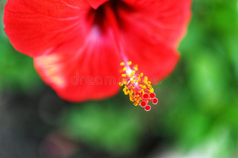Close-up of flowers  Hibiscusrosa-sinensis or Cooperi is beautiful red with a blurred background of green leaves. Outdoor royalty free stock photography