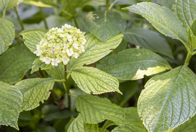 Close-up of flowers of hydrangea arborescens. Arborescent, hydrangeaceae, leaves, leaf, spring, flowering, plant, elegant, outdoor, shrub, flowerhead, smooth stock photography