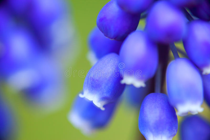 Close-up of flowers of Muscari.  royalty free stock photo