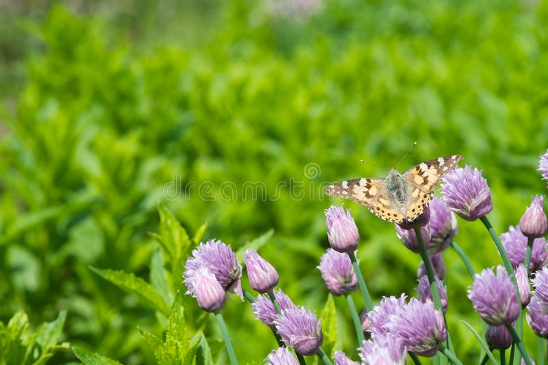 Chives and orange butterfly in the garden stock images