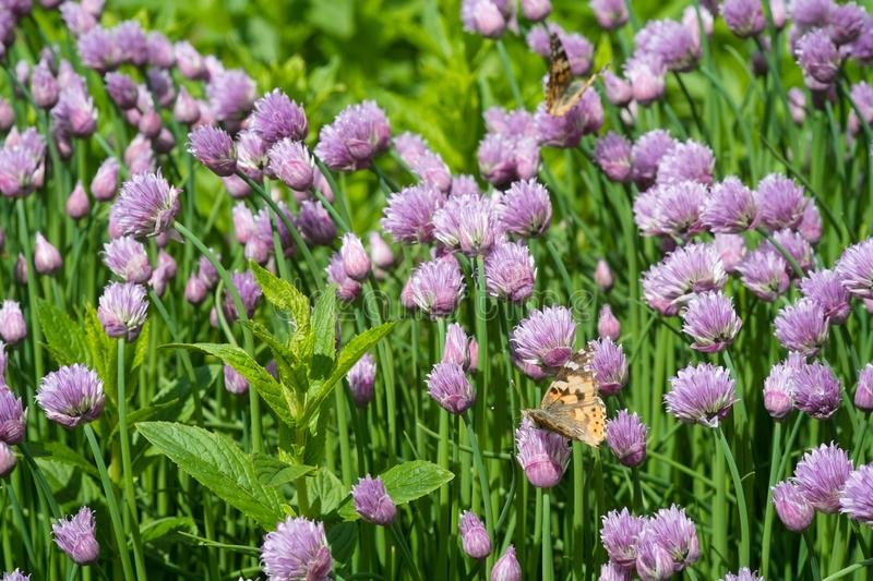 Chives and orange butterfly in the garden stock image