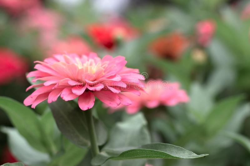 Close-up Flowers of Zinnia. Floral background.Common Zinnia stock photography