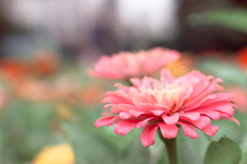 Close-up Flowers of Zinnia. Floral background.Common Zinnia royalty free stock photography
