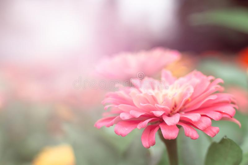 Close-up Flowers of Zinnia. Floral background.Common Zinnia stock photos