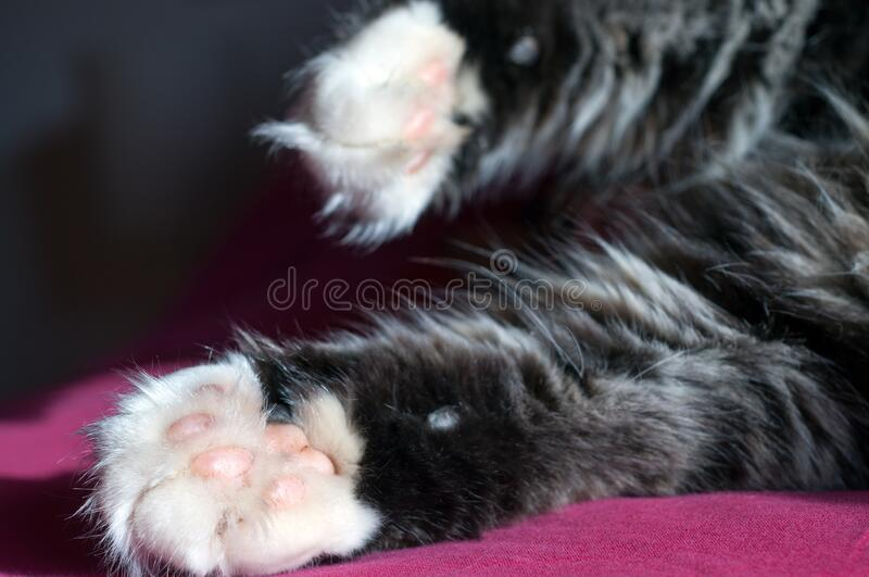 Close Up of a fluffy cat's white and pink paws. Beautiful paws stock photos