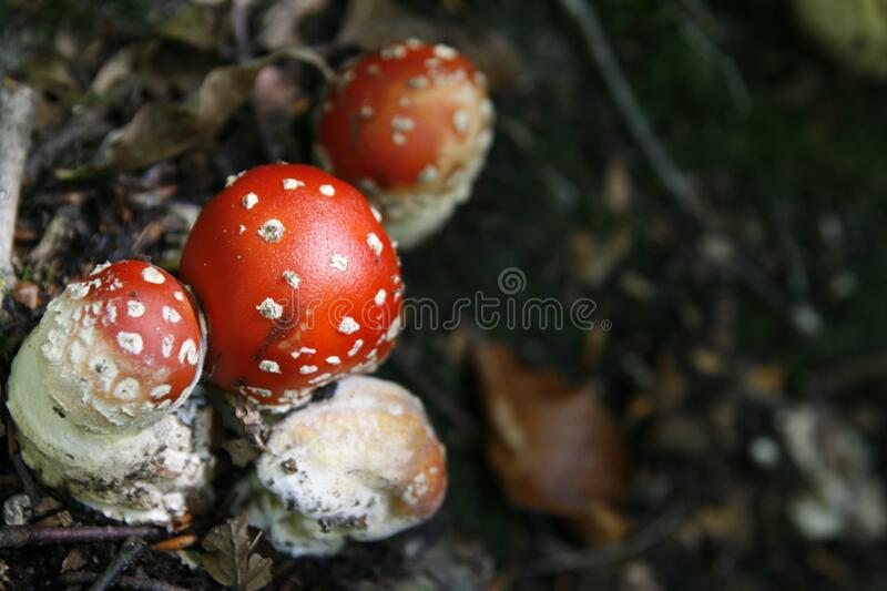 Close-up of Fly Agaric Mushroom royalty free stock images