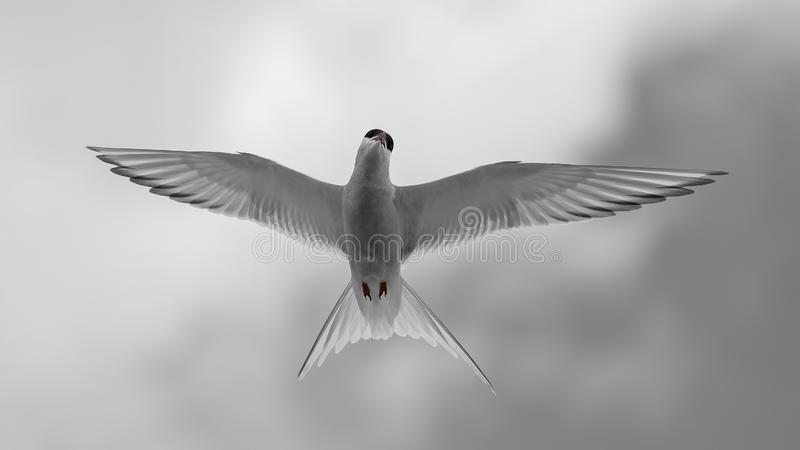 Close up of a flying artic tern royalty free stock photos