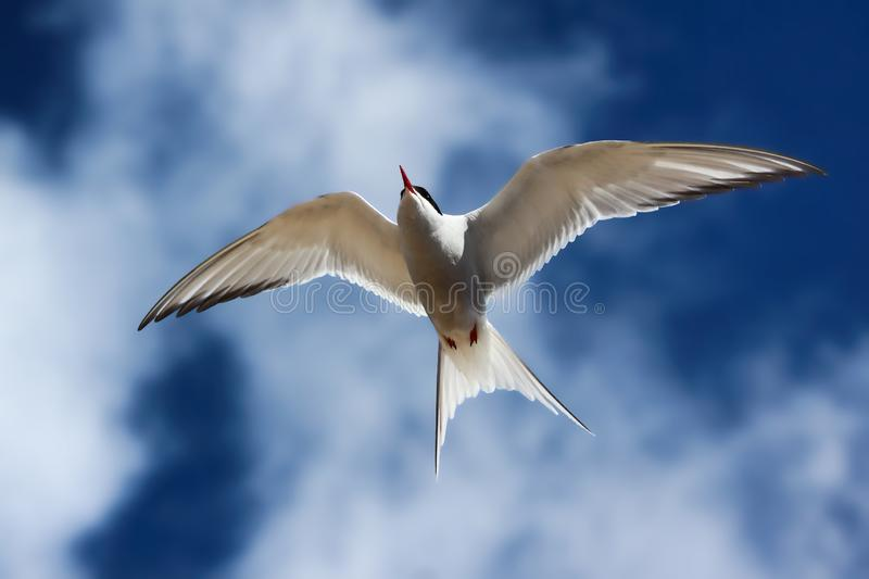 Close up of a flying arctic tern stock images