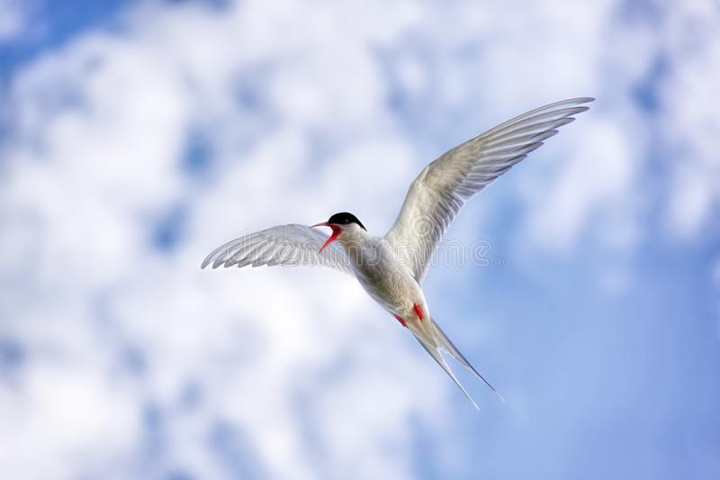 Close up of flying Arctic tern royalty free stock photo