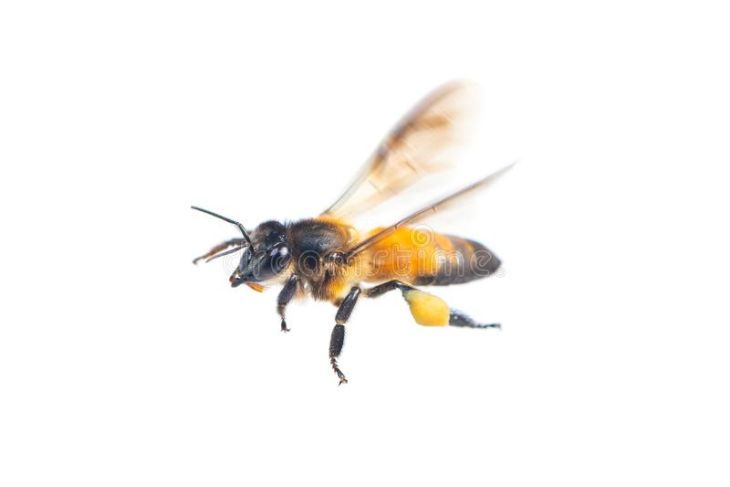 A close up of flying bee isolated on white background royalty free stock image