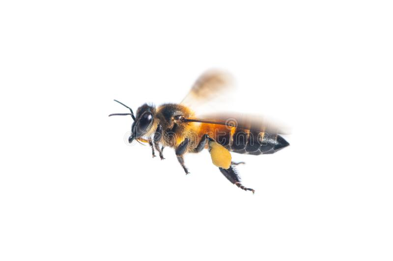 A close up of flying bee on white background royalty free stock images