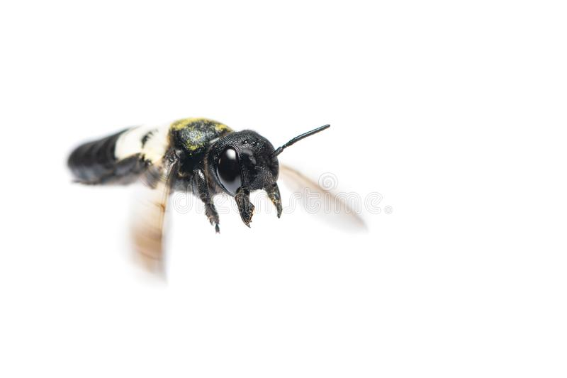 A close up of flying Leafcutter bee royalty free stock images