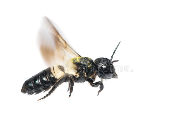 A close up of flying Leafcutter bee royalty free stock photo
