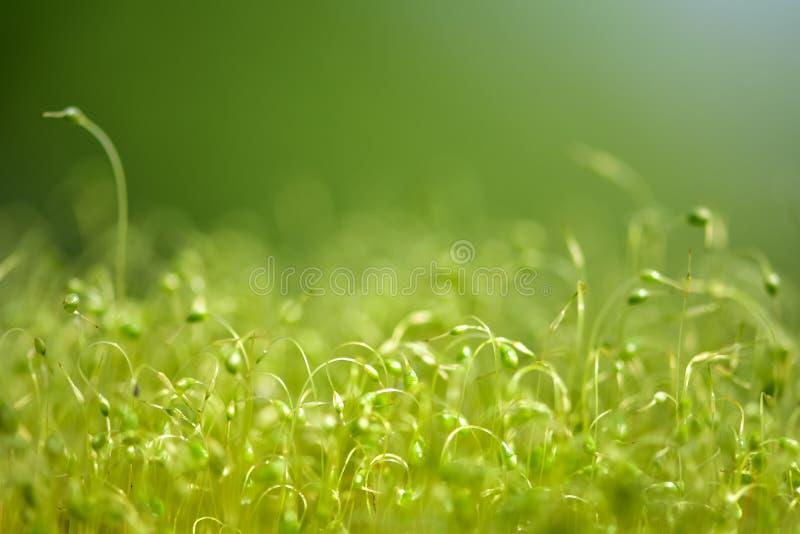 Close-up focalizado macio disparado de sementes verdes do musgo com bokeh, luz de brilho borrada fotos de stock